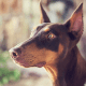 Dobermans are naturally protective.
