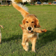 A famously good-natured golden retriever playing with the pups.