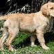 A golden retriever puppy.