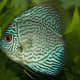 The discus is very sensitive to water conditions and should only be added to an established tank.