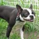 This funny-face dog would make a good Butler in his tuxedo, as long as you can train him to answer the door!