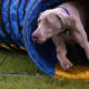 A Weimaraner competing in agility competition