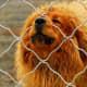A Tibetan Mastiff on guard duty.
