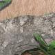 Uroplatus sikorae mimicking the underlying branch surface.