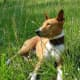 A Basenji relaxing after a hunt