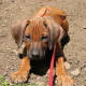 The Rhodesian Ridgeback is a mixture of African and European dog breeds.
