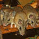 Turkish spiny mice.