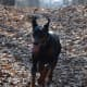 Dobermans are the  most loyal of all the dog breeds.