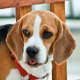 Beagles may develop ear infections because of their anatomy.