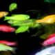 GloFish (zebra danios)