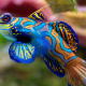 The cute and colorful goby is a very popular aquarium fish.