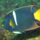 A blue, white, and yellow angelfish.