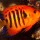 The varieties of angelfish come in an array of colors and patterns, like this orange one.