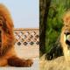 Tibetan mastiff compared to a lion.