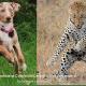 Dogs like Leopard