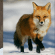 A Dhole on the left and a fox on the right.
