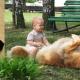 Leonberger dog.