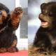 seven-dogs-that-look-like-bear