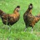 Two adult Golden Brabanter hens recently inquired about!
