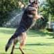 German Shepherd having fun