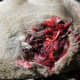 You can see how much tearing and clotting took place. The wound site suggested a lack of ethics in hunting.