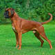 Boxers can be very strong but are often easy to manage.