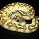 Butter Pastel ball python