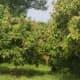 lychee trees