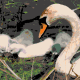 Swan camera picture to oil painting with marker colors.