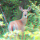 Red cyan stereoscopic photo of a white-tailed deer.