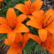 Bright orange tiger lilies for a pop of color!