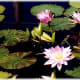 Water lilies in bloom at the St. Louis Botanical Gardens