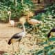 African Crowned Cranes and Chilean flamingos at Silver Springs, Florida