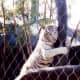 Playful White Striped Tiger at the Mirage Hotel Secret Garden