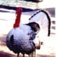 This turkey was in with the elephant at the Mirage Hotel.