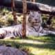 White Striped Tiger