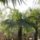 The Chinese Windmill Palm Tree