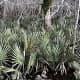 McCurtain Sabal Minor Palms found in the wild
