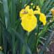 A yellow flag iris by the lake