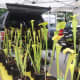 Carnivorous pitcher plants for sale