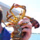 A pregnant lobster on the Lucky Catch Cruise in Portland, Maine