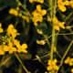 Flowers of the rape plant