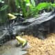 Yellow and Green Frogs