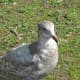 An immature glaucous-winged gull