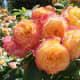 Multicoloured roses