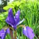 A blue flag iris flower
