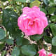 A pink rose in the Stanley Park Rose Garden