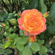 Another rose in the garden