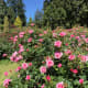 A scene in the rose garden