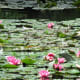 Tropical types of water lilies are considered highly invasive species if they enter natural ponds and wetlands.